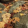 Fallen Autumn Sugar Maple Leaves by Tim Laman