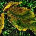 Fallen Elm Leaves by Aaron Burrows