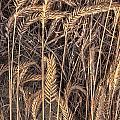 Fallen Grains by Earl Nelson