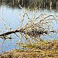 Fallen Tree by Douglas Barnard