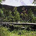 Fallen Tree by Madeline Ellis