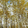 Falling For The Birch And Aspens by Alanna DPhoto