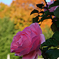 Fall's Final Rose by Susan Herber