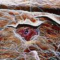 False-colour Sem Of A Taste Bud On Tongue Surface by Prof. P. Mottadept. Of Anatomyuniversity \la Sapienza\