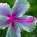 Fanciful Hibiscus by Karen Lewis
