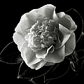 Fancy Camellia In Black And White by Endre Balogh