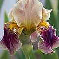 Fancy Dancy Iris by Kathy Clark