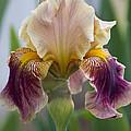 Fancy Iris Dance Ruffles by Kathy Clark