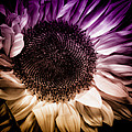 Fantasy Sunflower by David Patterson