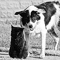 Farm Cat And Border Collie by Thomas R Fletcher