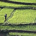 Farmer In Rice Paddy, Elevated View by Axiom Photographic