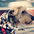 Airedale On The Fashion Runway by Toni Hopper