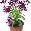 Favourite Violet Indoor Flower by Aleksandr Volkov