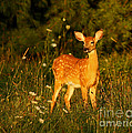 Fawn In Forest At Dusk by Inspired Nature Photography Fine Art Photography