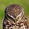 Feather Of A Burrowing Owl by Bill Dodsworth