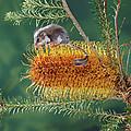 Feather-tail Glider Acrobates Pygmaeus by Jean-Paul Ferrero