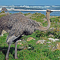 Feathers By The Sea Wild Female E African Ostrich Southern Race Cape Of Good Hope South Africa by Jonathan Whichard