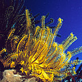 Featherstars On Coral by Peter Scoones