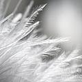 Feathery White by Danuta Bennett