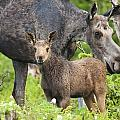 Female And A Three Weeks Old Moose by Philippe Henry