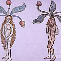 Female And Male Mandrake, Alchemy Plant by Science Source