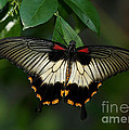 Female Asian Swallowtail Butterfly by Inspired Nature Photography Fine Art Photography