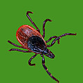 Female Blacklegged Tick by Science Source