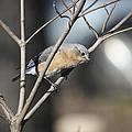 Female Bluebird by Teresa Mucha