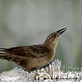 Female Boat Tailed Grackle by Betty LaRue