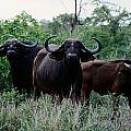 Female Cape Buffalo Syncerus Caffer by Nicole Duplaix
