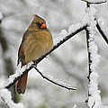 Female Cardinal 3656 by Michael Peychich