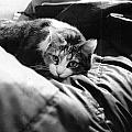 Female Cat Laying Down by Luca Rosa