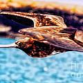 Female Frigate Bird by Diana Cox