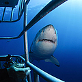 Female Great White And Underwater by Todd Winner