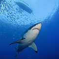 Female Great White, Guadalupe Island by Todd Winner