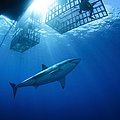 Female Great White With Cages by Todd Winner