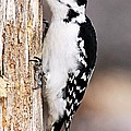 Female Hairy Woodpecker by Larry Ricker