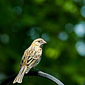 Female House Finch Perched by  Onyonet  Photo Studios