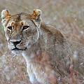 Female Lion Portrait by Carole-Anne Fooks