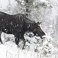 Female Moose In Snowy Forest, Gaspesie by Philippe Henry