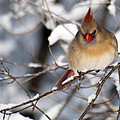 Female Northern Cardinal 4300 by Michael Peychich