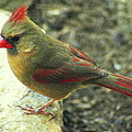 Female Northern Cardinal by Laurel Talabere