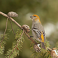 Female Pine Grosbeak by Photographs By Les Piccolo