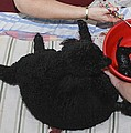 Female Poodle Gives Birth by Photostock-israel