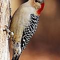 Female Red-bellied Woodpecker 5 by Larry Ricker