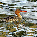 Female Red Breasted Merganser In The Spring by Inspired Nature Photography Fine Art Photography