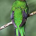 Female Resplendent Quetzal - Dp by Heiko Koehrer-Wagner