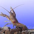 Female Rusty Crayfish by Ted Kinsman