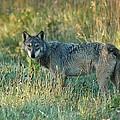 Femle Gray Wolf In The Morning Light by Teresa McGill