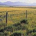 Fence And Barley Crop, Near Waterton by Darwin Wiggett